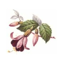 Fuchsia 35x30mm (10)