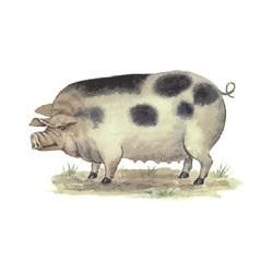 PIGS 29X18MM (7) 2.SAPG6