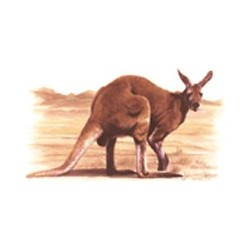 Red Kangaroo 75mm (15)