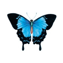 ULYSSES BUTTERFLY 25MM (77)