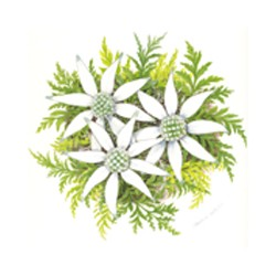 FLANNEL FLOWER 25MM (63)