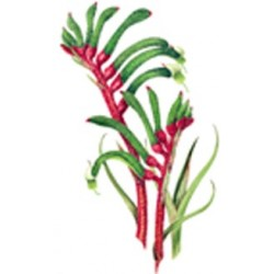 ** SALE 50% OFF KANGAROO PAW 75MM (15)