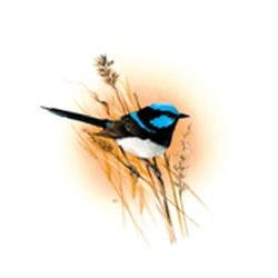 Blue Wren 25mm